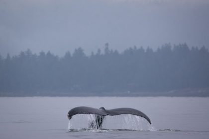 Whale Watching with White Rock Sea Tours