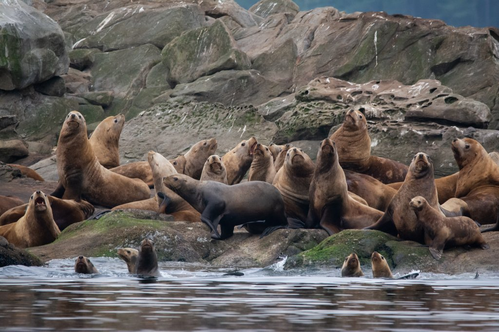 Group of Stellar Sea lions