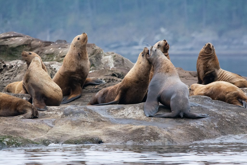 Rough play of Stellar Sea Lions